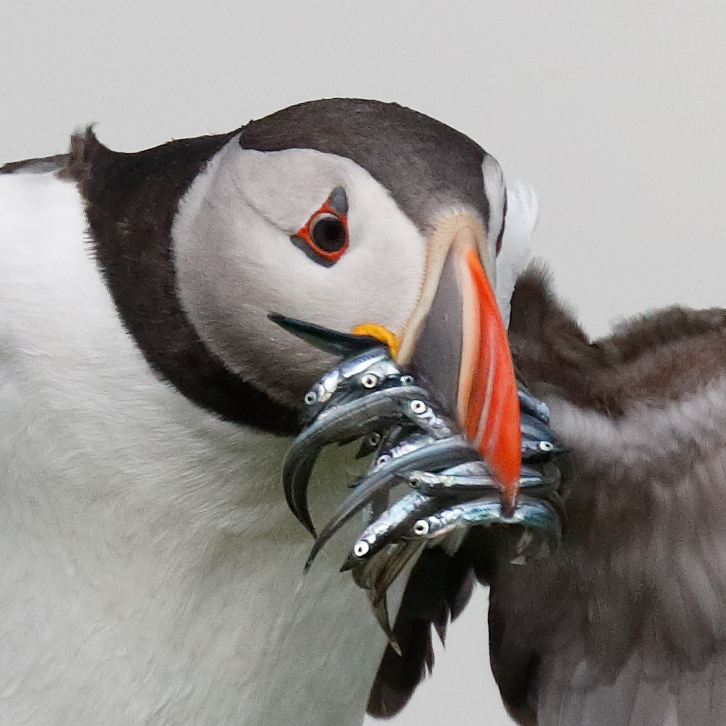 sharp-puffin-head-_a0i9978-seahouses-uk