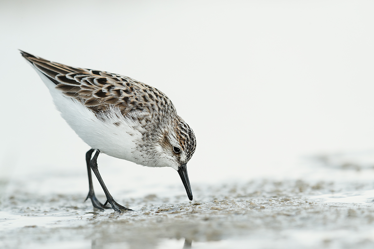 shorebird-may-_a0i8312-fort-desoto-park-pinellas-county-flE