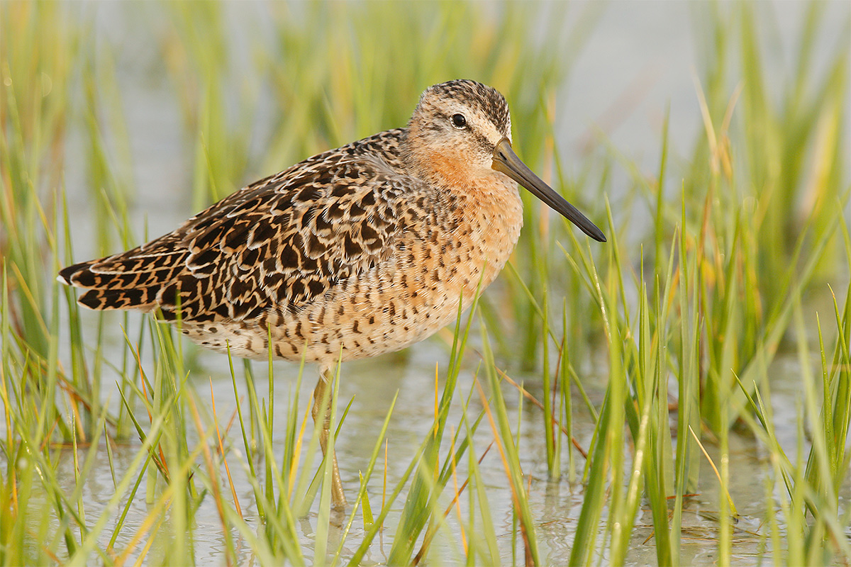 short-billed-dowitcher-breeding-plumage-in-marsh-grass-_36a0301-fort-desoto-park-fl