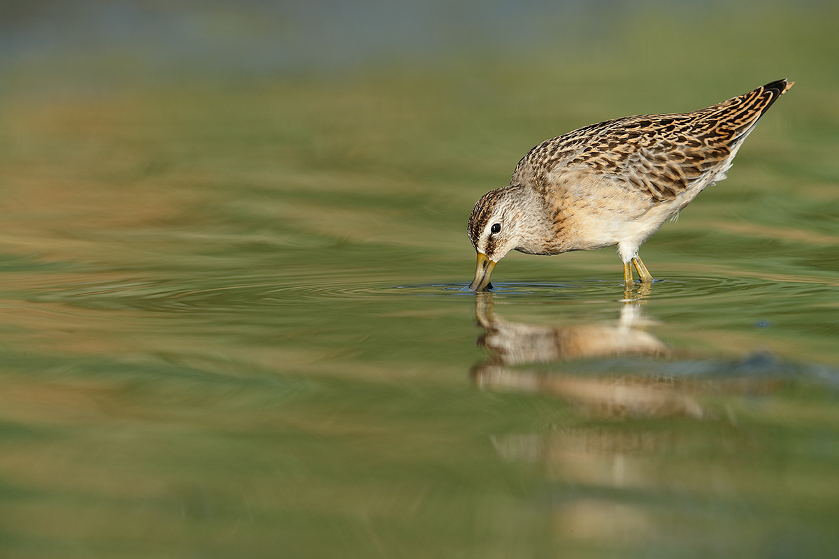 short-billed-dowitcher-feeding-_a0i8066-east-pond-jamaica-bay-wr-queens-ny