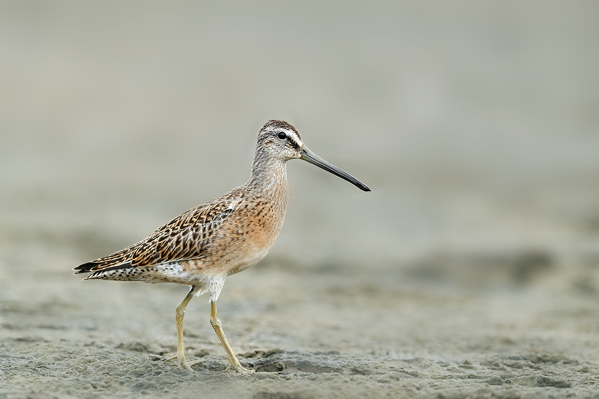 short-billed-dowitcher-juvenile-on-mud-_a0i8941-east-pond-jamaica-bay-wr-queens-ny