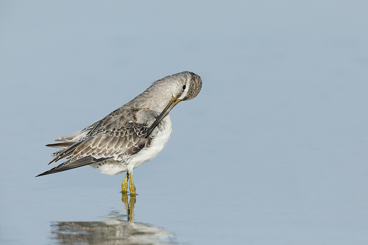 short-billed-dowticher-basic-plumage-_28a1597-fort-desoto-county-park-fl