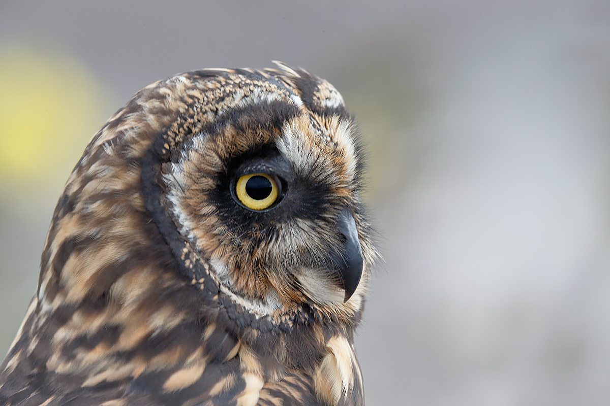 short-eared-owl-_09u3214-prince-philips-steps-tower-island-galapagos