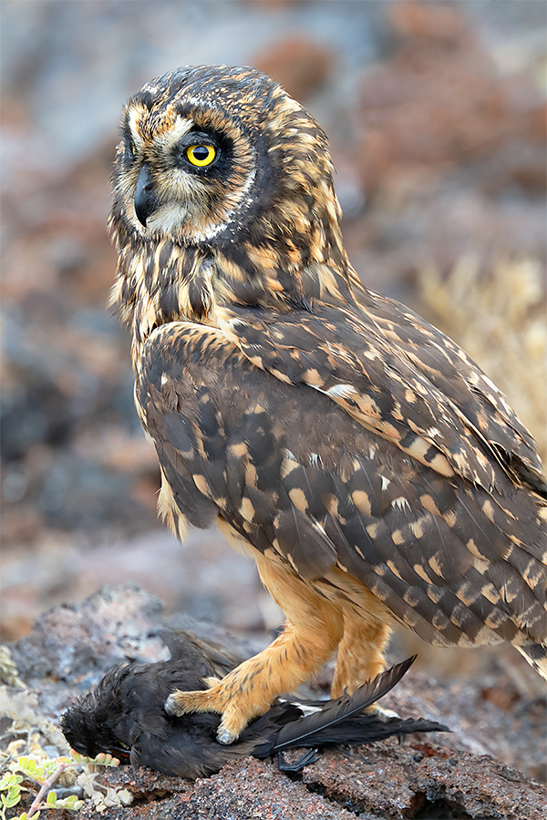 short-eared-owl-with-prey-wedge-rumped-galapagos-petrel-_y5o7278-tower-island-prince-phillips-steps-genovesa-galapagos-ecuador