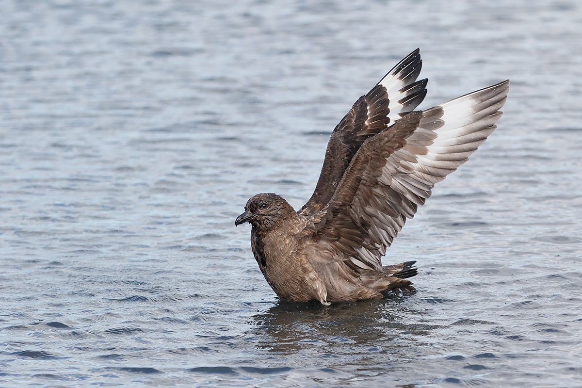 skua-flapping-after-bath-_y8a3104-stromness-harbor-south-georgia