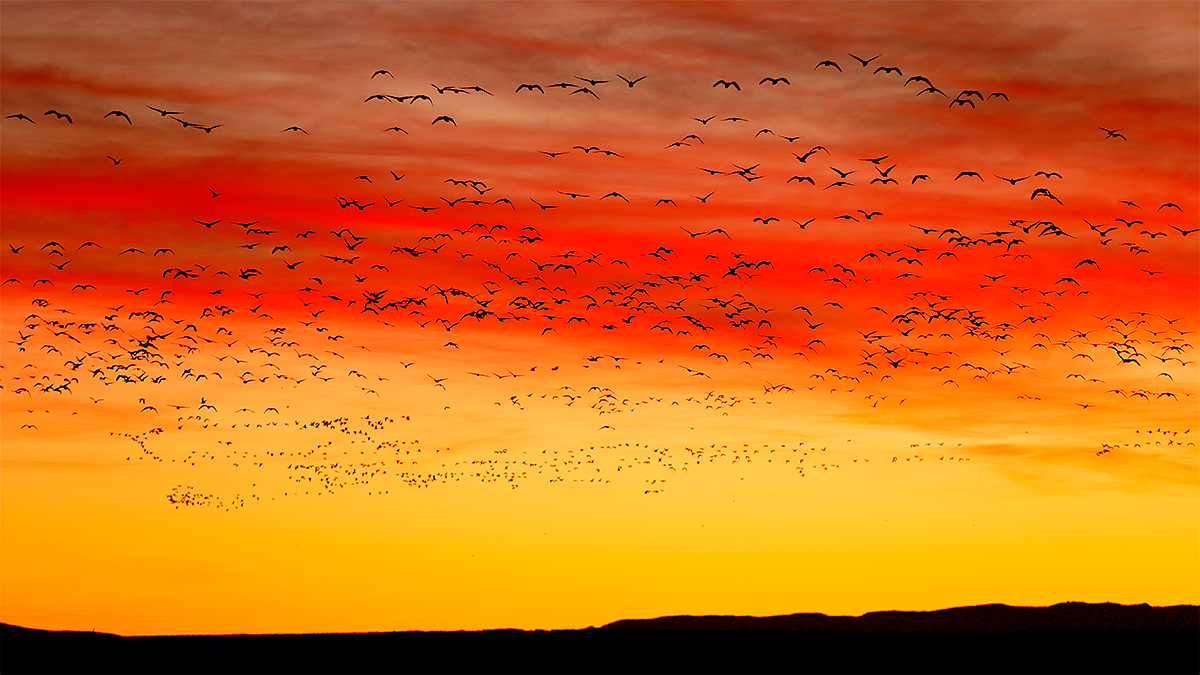 snow-geese-flock-at-sunrise-_y7o9478-bosque-del-apache-nwr-san-antonio-nm