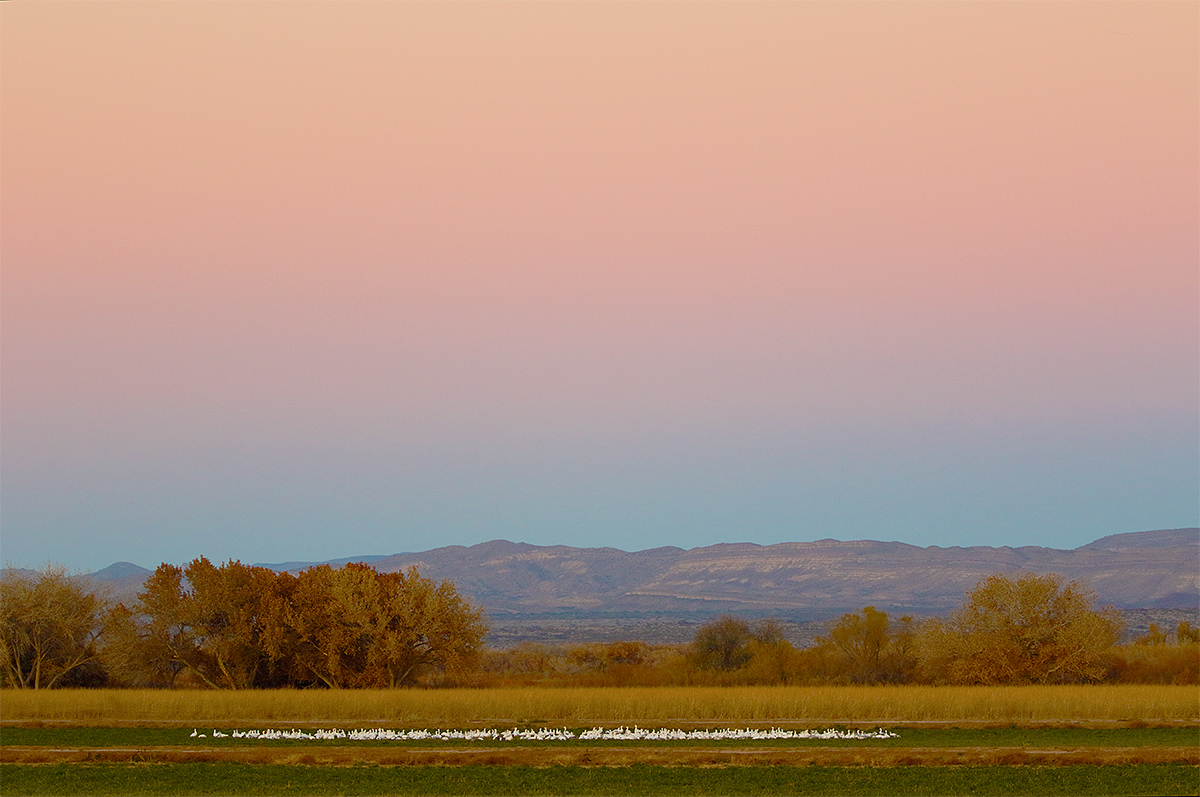 snow-geese-flock-in-field-pink-purple-blue-earth-shadow-3y8a1403-bosque-del-apache-nwr-san-antonio-nm