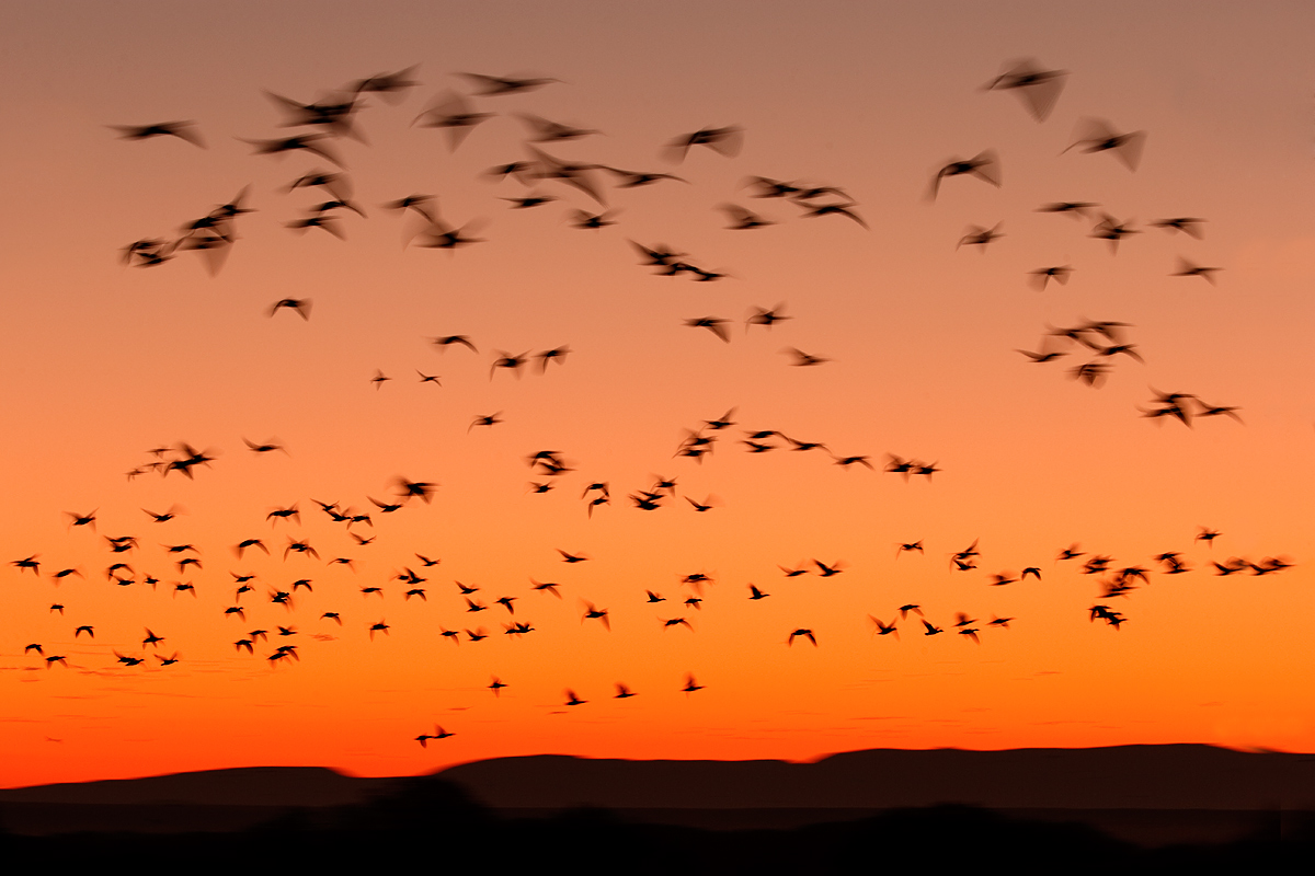 snow-geese-pre-dawn-fly-in-_y7o8778-bosque-del-apache-nwr-san-antonio-nm