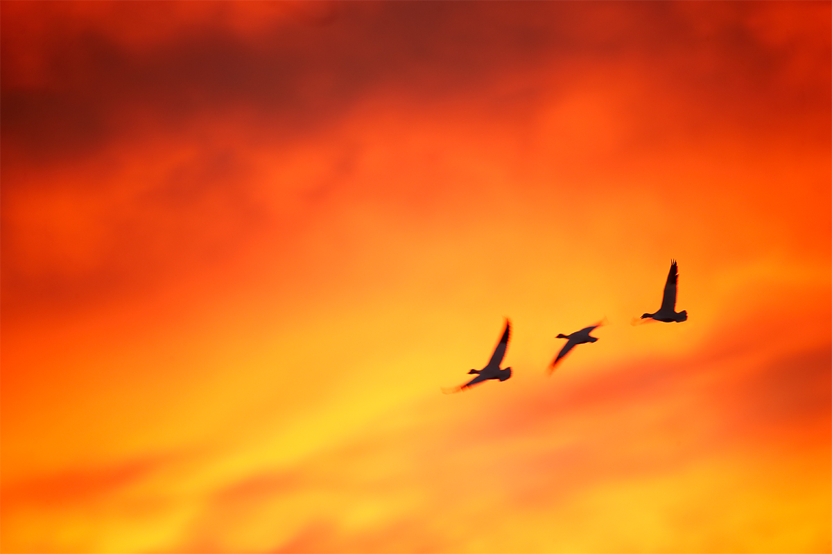 snow-geese-red-sunset-_y7o8227-bosque-del-apache-nwr-san-antonio-nm