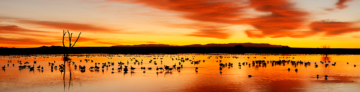 snow-geese-sunrise-pano-five-frames-cropped-_10j5548-bosque-del-apache-nwr-san-antonio-nm