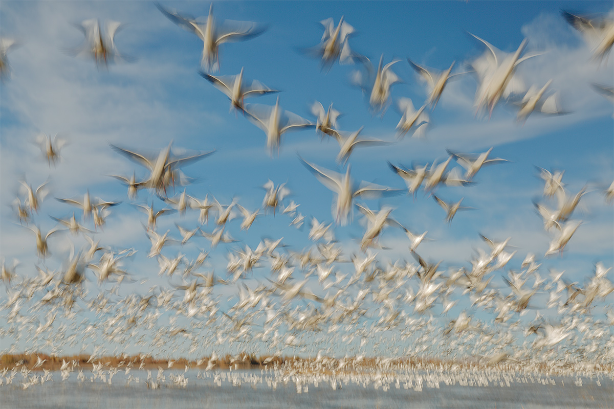 snow-goose-24-27-at-35mm-blast-_a1c8448-bosque-del-apache-nwr-san-antonio-nm_0E