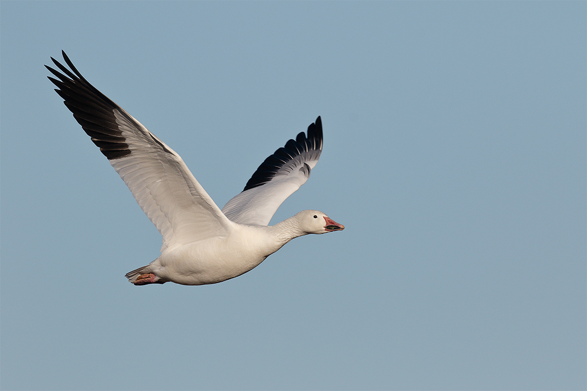 snow-goose-adult-in-flight-600ii-1-4x-tc-7dii-3y8a0857-bosque-del-apache-nwr-san-antonio-nm
