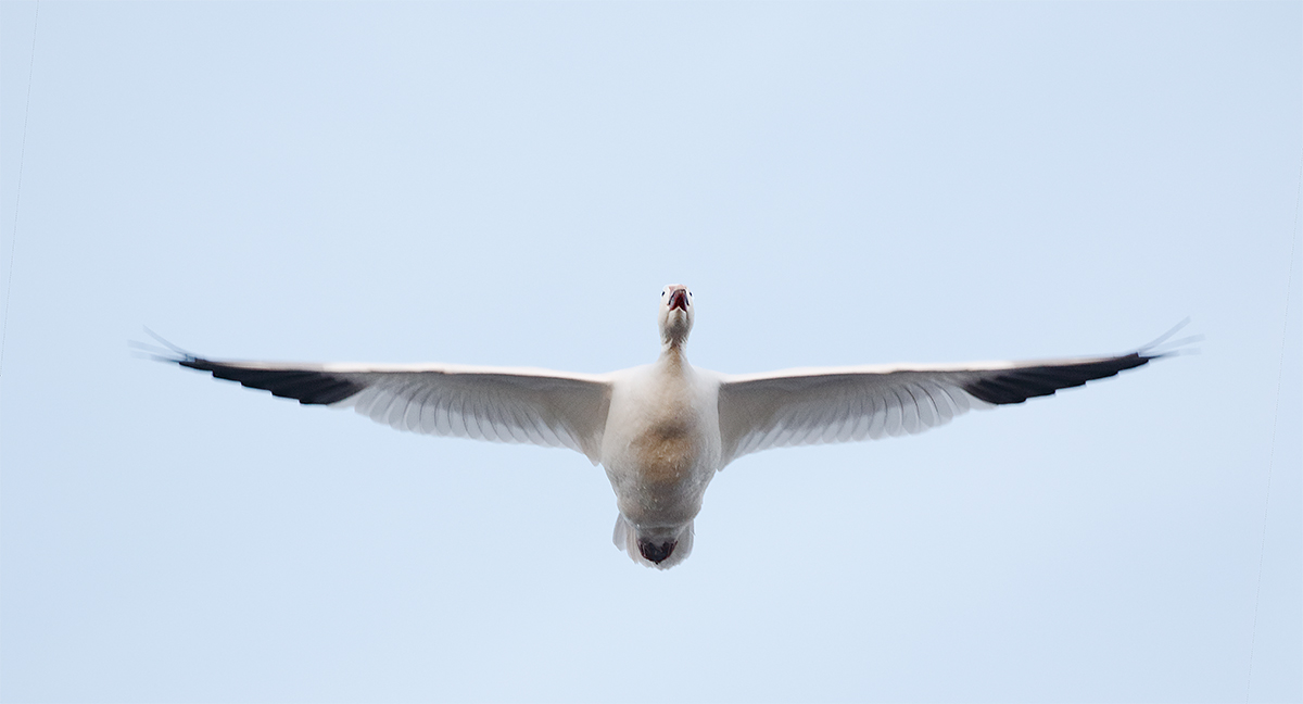 snow-goose-flight-100-400ii-7d-ii-3y8a1686-bosque-del-apache-nwr-san-antonio-nm_0