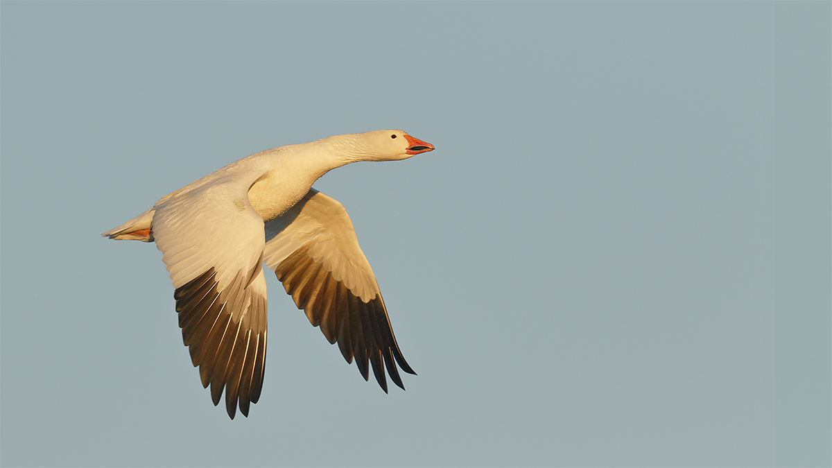 snow-goose-flight-downstroke-butter-light-3y8a0361-bosque-del-apache-nwr-san-antonio-nm