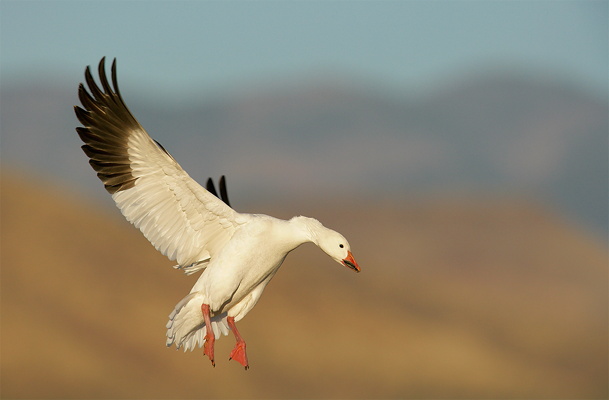 snow-goose-flight-eml-swept-back-near-wing-_l8x4618-bosque-del-apache-nwr-san-antonio-nm