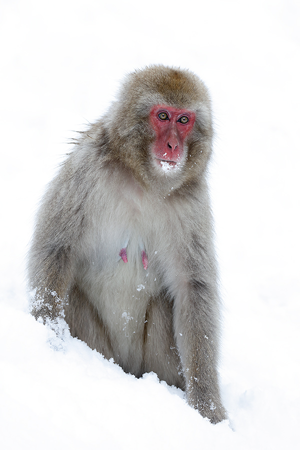 snow-monkey-mother-_r7a9145-nagano-japan
