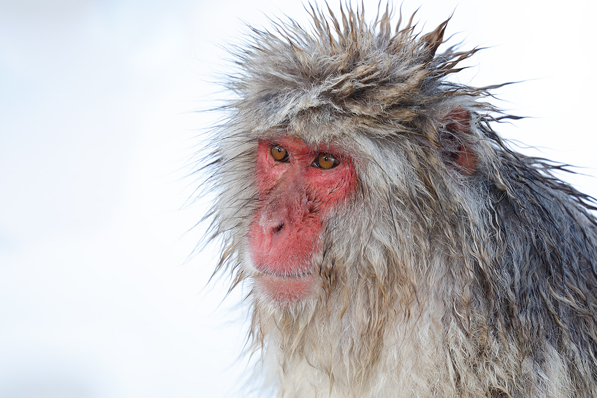 snow-monkey-mr-spikey-_r7a9559-nagano-japan