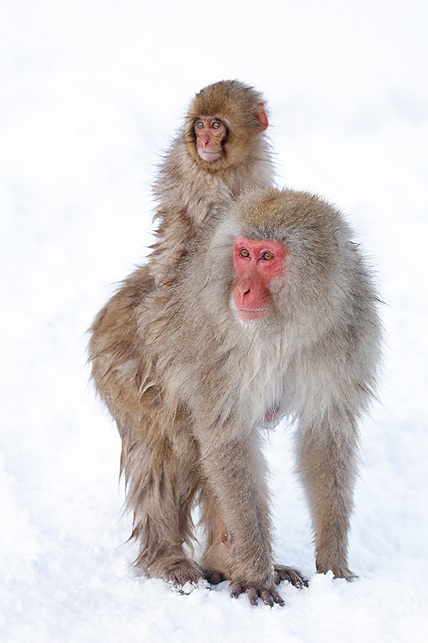 snow-monkey-on-moms-back-_r7a9347-nagano-japan