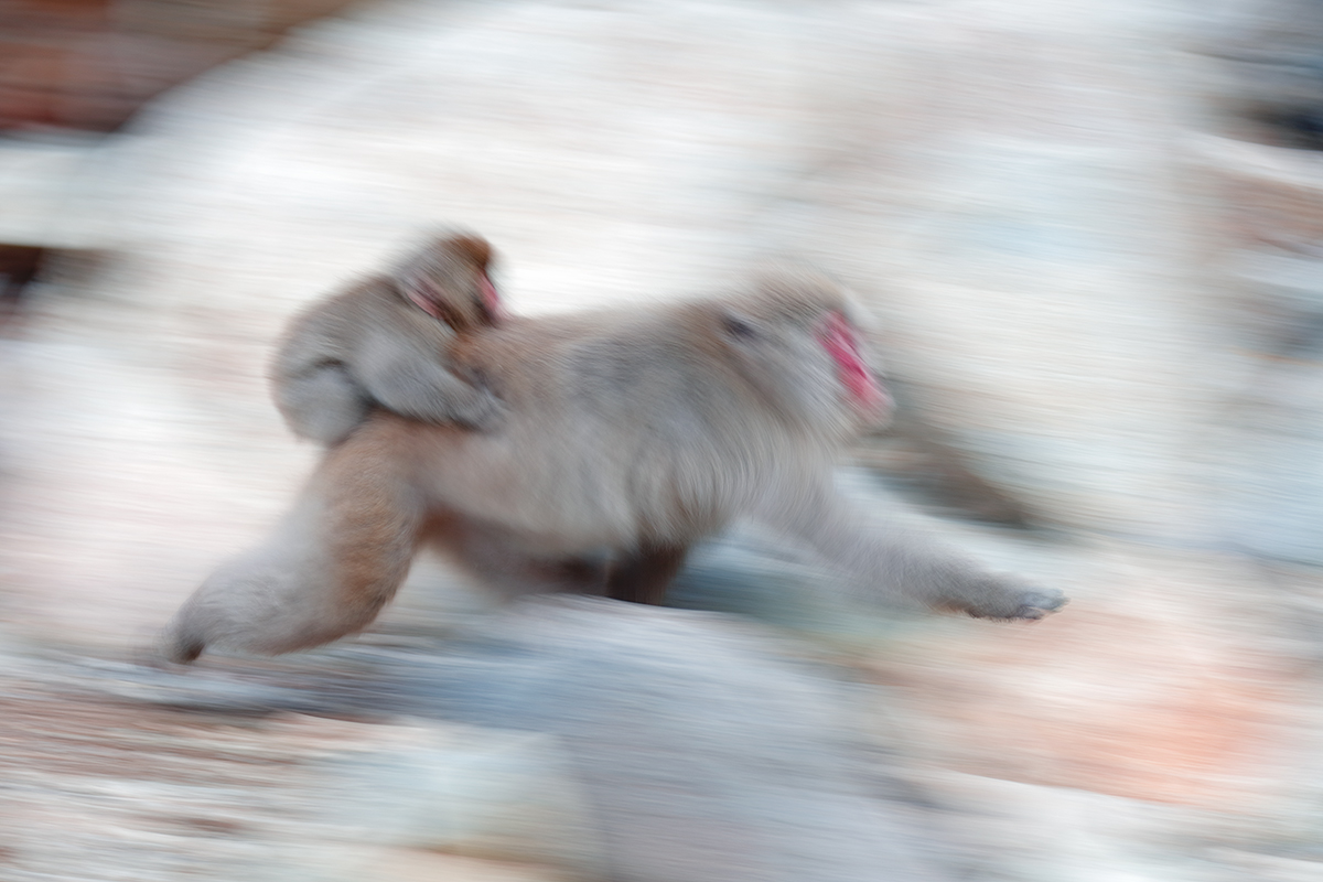 snow-monkey-w-baby-running-blur-_r7a9842-nagano-japan