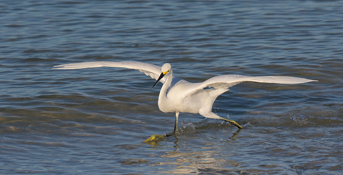 snowy-egret-running-after-fish-_36a8376-fort-desoto-county-park-pinellas-fl_0