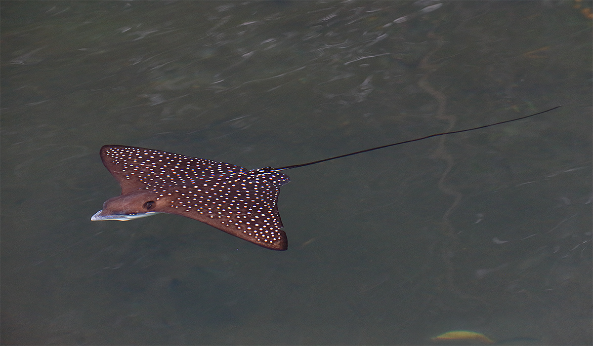 spotted-eagle-ray-youngster-a_y5o9284-sullivan-bay-isabela-galapagos-ecuador
