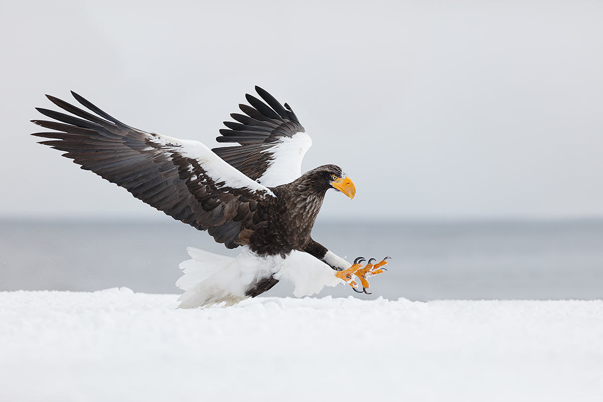 stellers-sea-eagle-about-to-grab-frozen-fish-_r7a2587-hokkaido-japan
