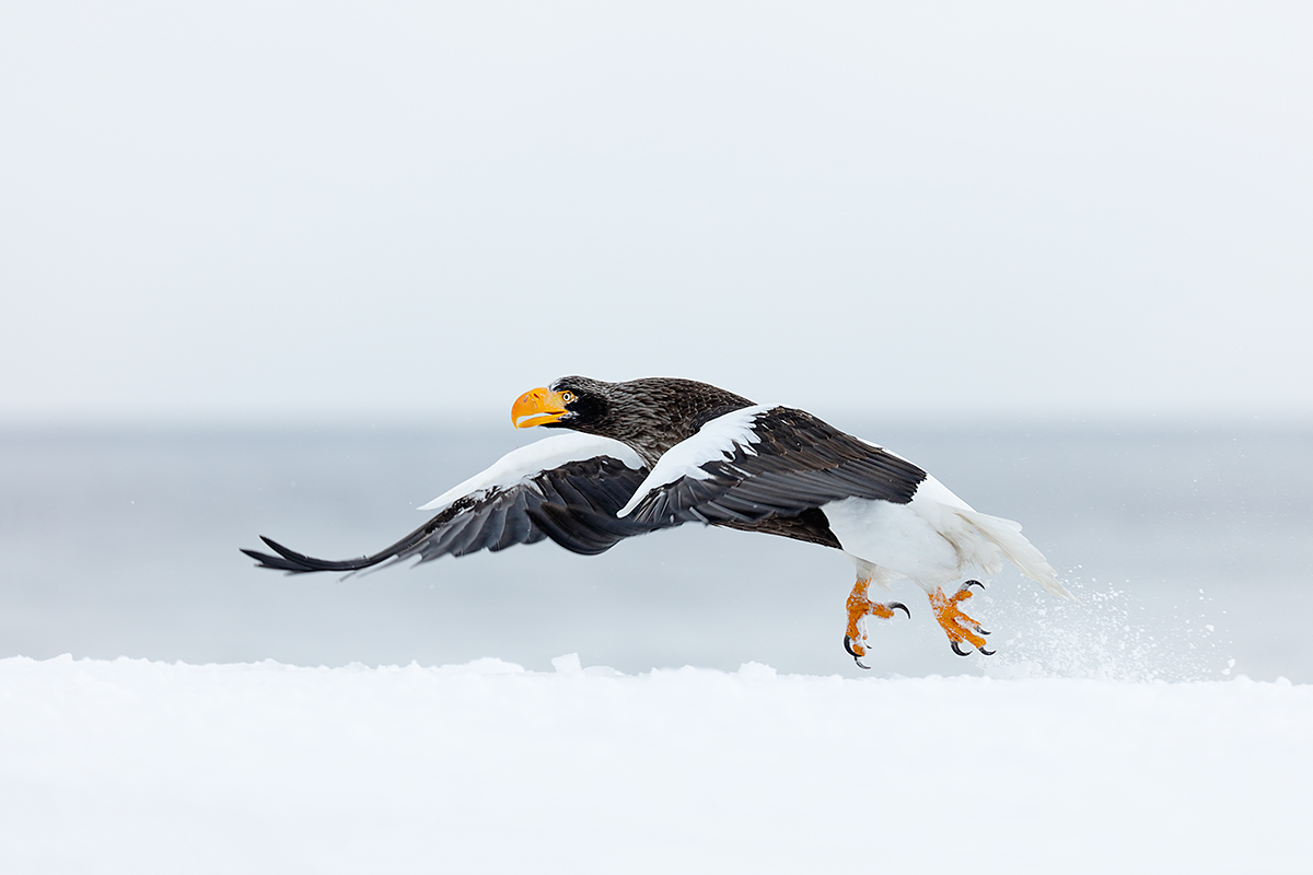 stellers-sea-eagle-taking-off-in-snow-_r7a2533-hokkaido-japan.jpg