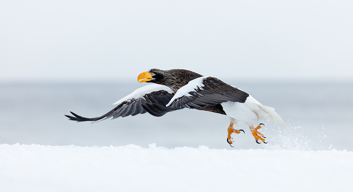 stellers-sea-pano-crop-eagle-taking-off-in-snow-_r7a2533-hokkaido-japan