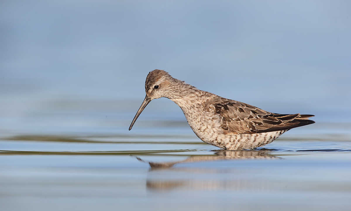 stilt-sandpiper-molting-adult-_y7o6150-east-pond-jamaica-bay-wr-queens-ny