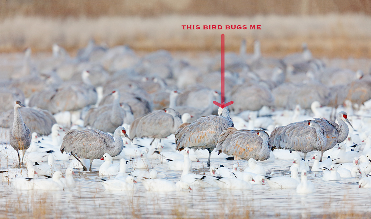 the-offender-sandhill-cranes-and-rosss-geese-_r7a2787-bosque-del-apache-nwr-san-antonio-nm