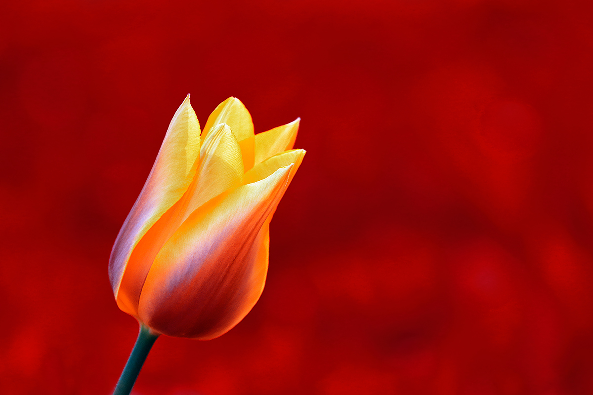 tulip-yellow-against-red-_a1c8871keukenhof-gardens-lisse-holland