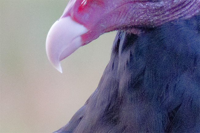 turkey-vulture-200-pct-vert-iso-6400-_36a8520-indian-lake-estates-fl