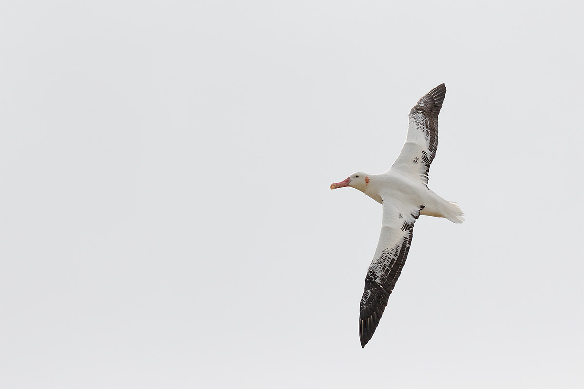 wandering-albatross-adult-banking-in-flight-_36a7025-prion-island-south-georgia