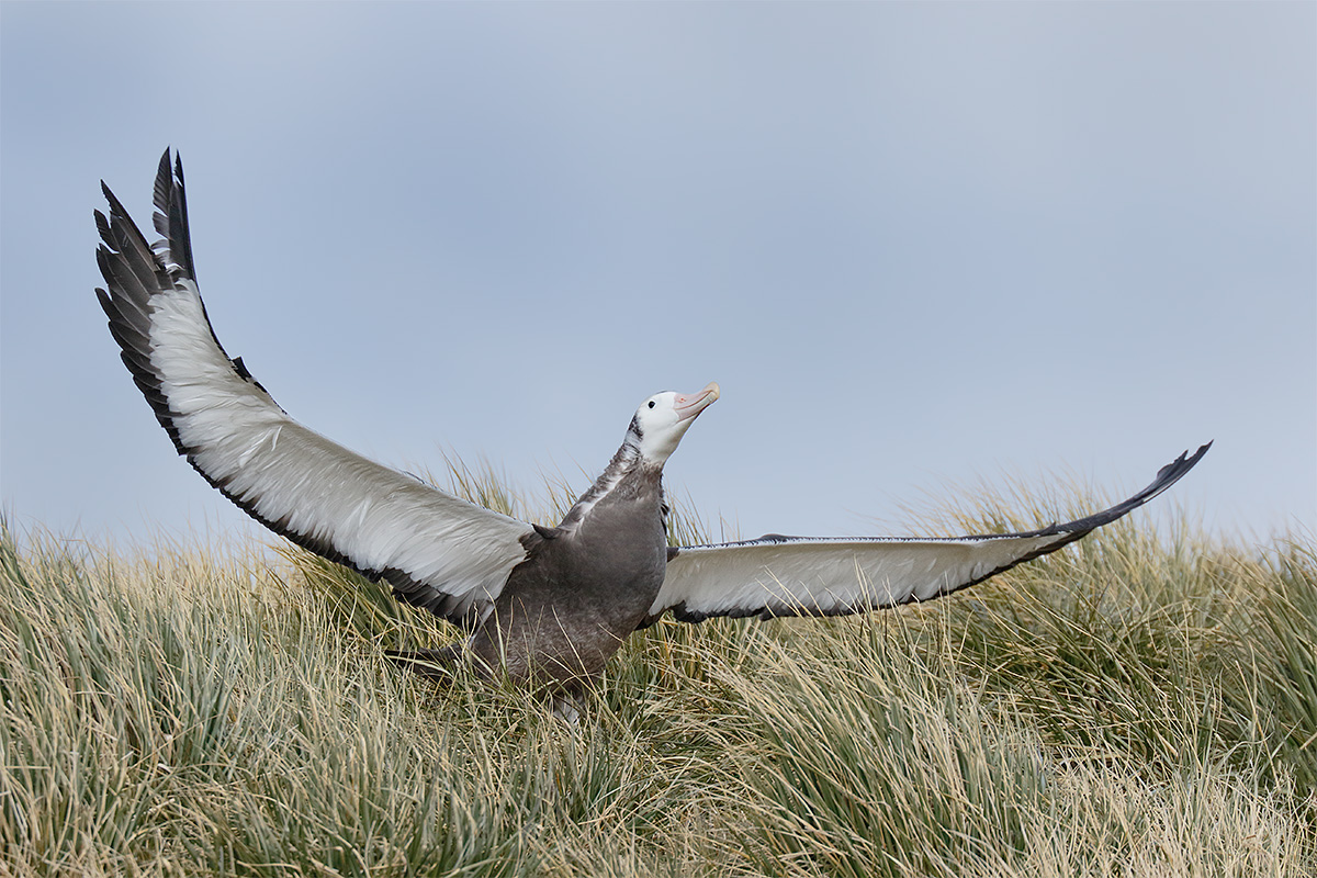 wandering-albatross-fledgling-flapping-in-place-_36a6957-prion-island-south-georgia
