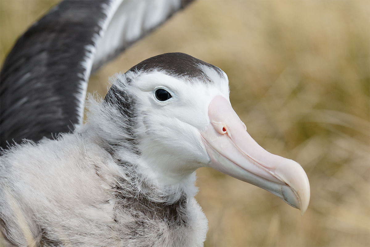 wandering-albatross-fledgling-flapping-tight-_36a7122-prion-island-south-georgia
