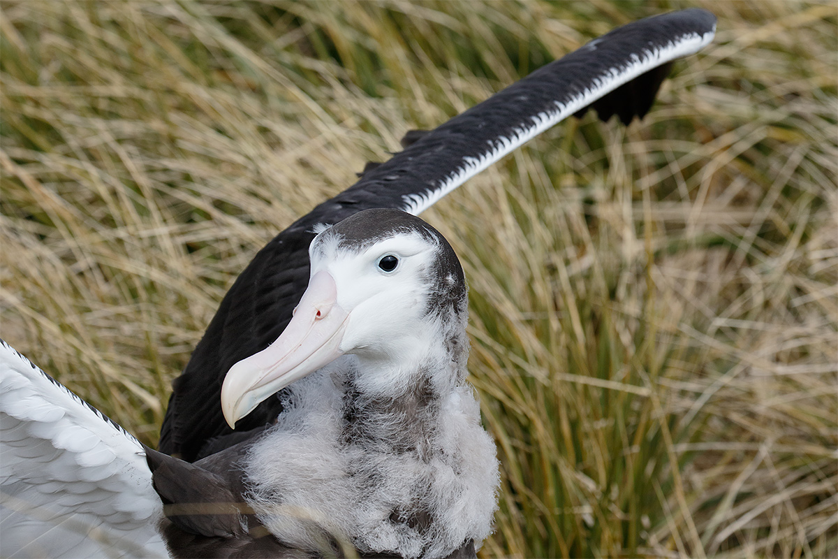 wandering-albatross-fledling-head-flapping-in-place-_36a7146-prion-island-south-georgia