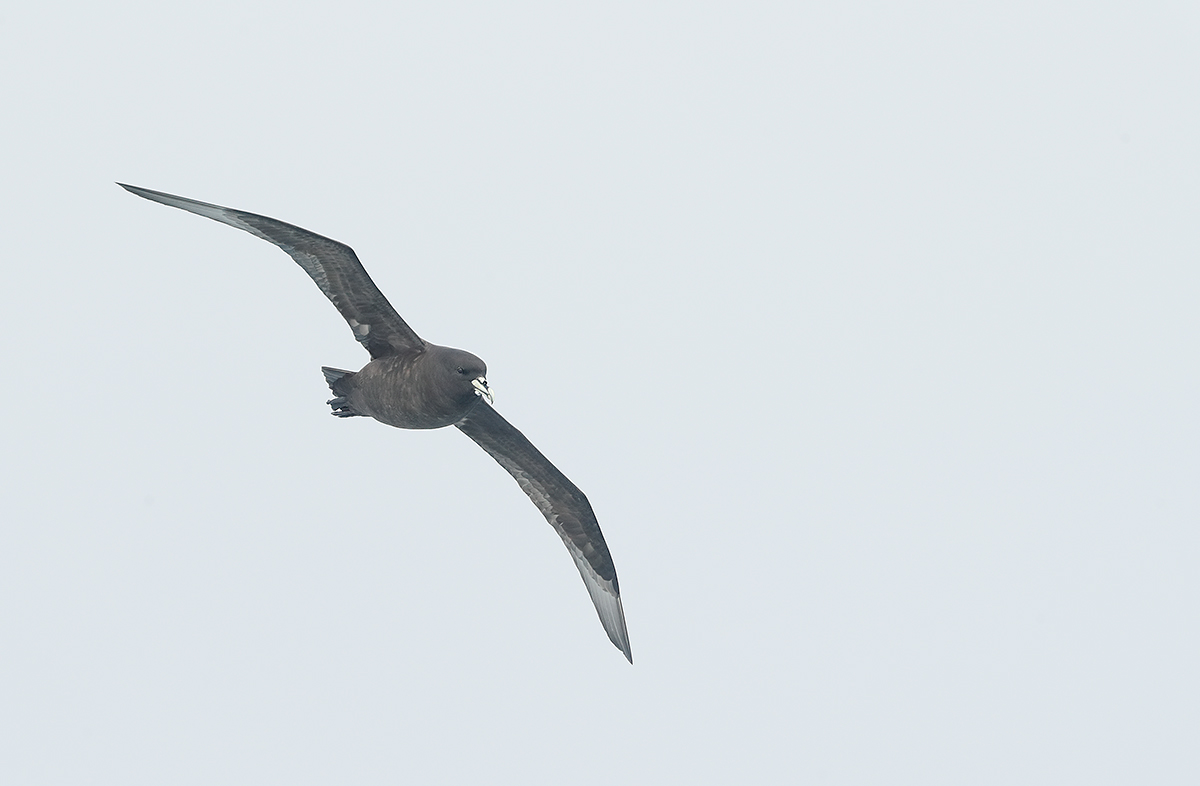 white-chinned-petrel-_a0i3803-scotia-sea-north-and-west-of-south-georgia