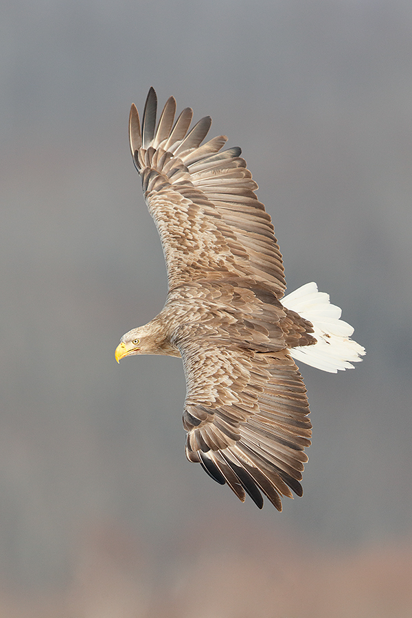 white-tailed-eagle-banking-_t0a7478-akan-crane-center-hokkaido-japan
