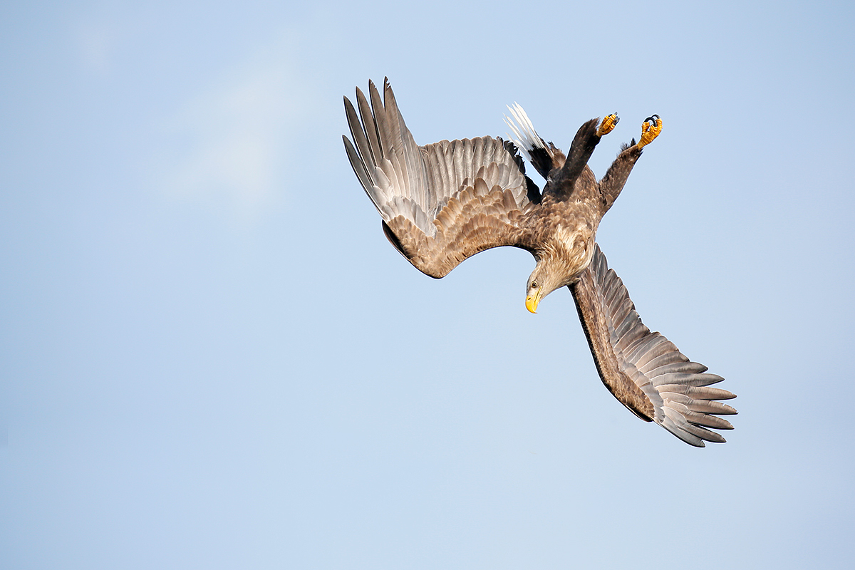 white-tailed-sea-eagle-diving-_y5o6178-rausu-hokkaido-japan