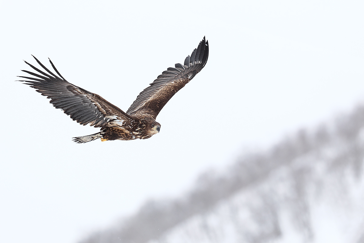 white-tailed-sea-eagle-immature-_90z5485-rausu-hokkaido-japan