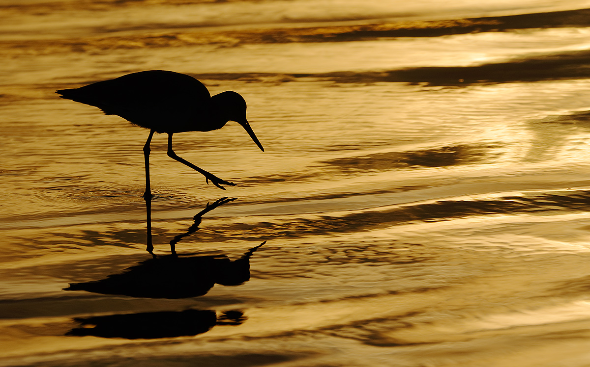 willet-at-sunset-_y8a4140-la-jolla-shores-beach-ca