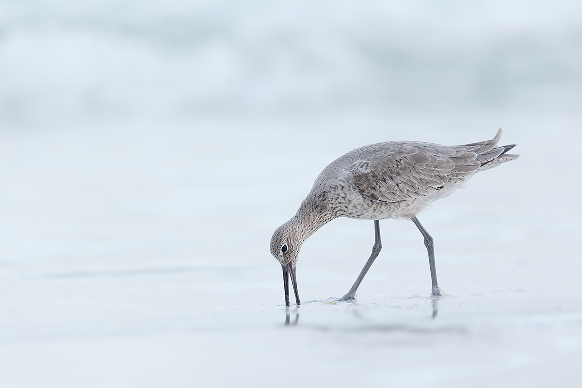 willet-feeding-_y7o3941-fort-desoto-park-fl
