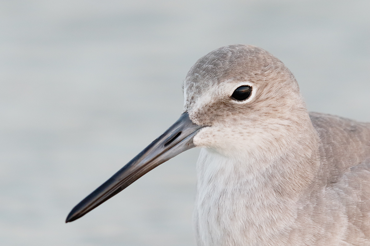 willet-head-portrait-iso-1600-7d-ii-_36a8890-fort-desoto-county-park-pinellas-fl