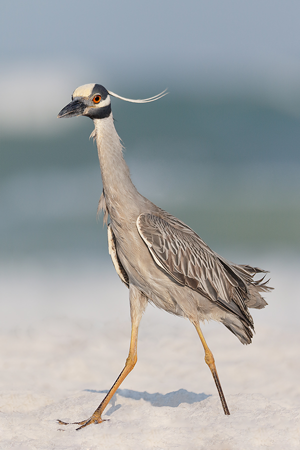 yellow-crowned-night-heron-extensive-beach-clean-up-bird-moved-in-frame-_y8a6005-fort-desoto-park-fl