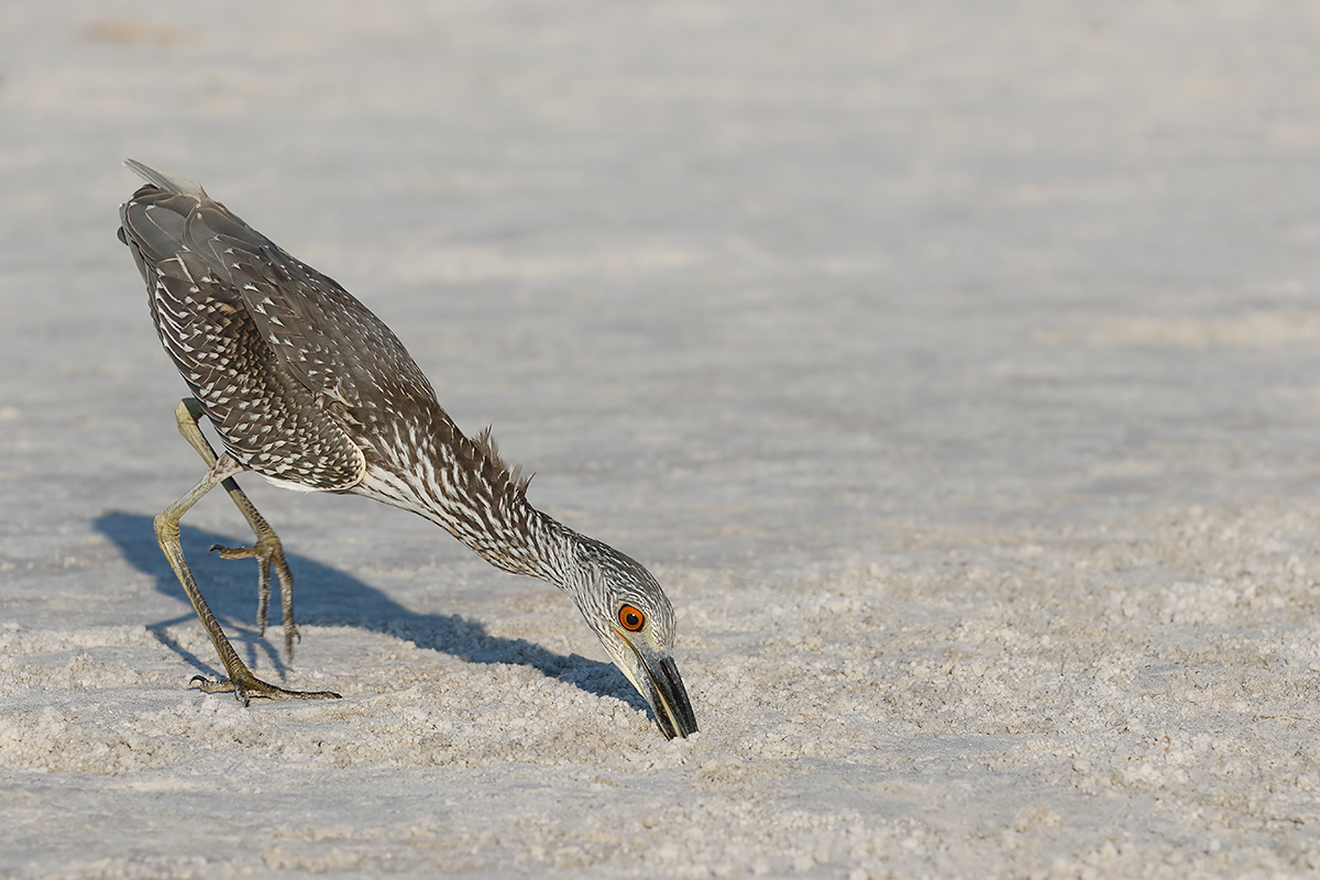 yellow-crowned-night-heron-juvenile-_36a9360-fort-desoto-county-park-pinellas-fl