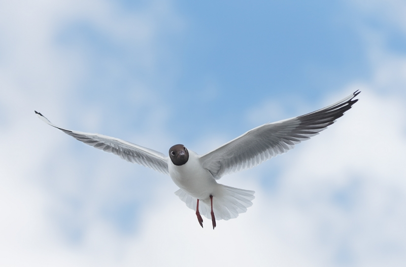 black-headed-gull-in-flight-_q8r0081-texel-holland
