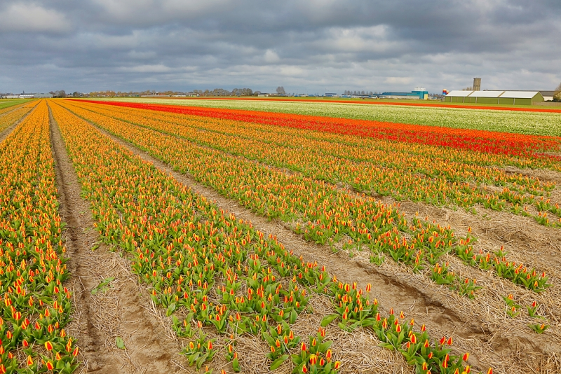 flower-field-hdr-_a1c1402-lisse-holland