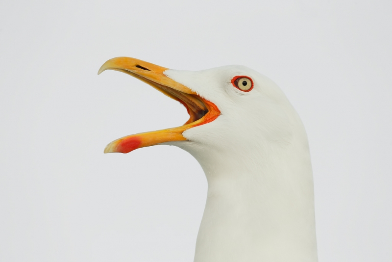 lesser-black-backed-gull-calliing-head-portrait-_q8r0435-texel-holland