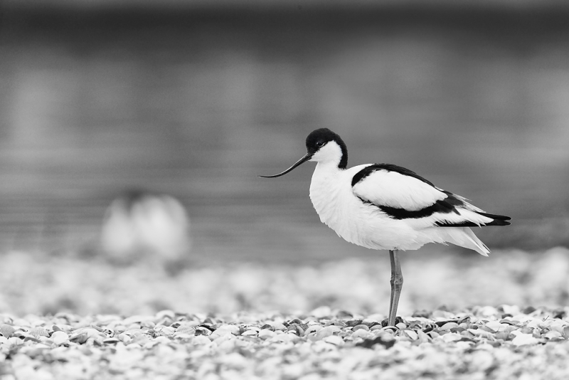 pied-avocet-bw-high-structure-with-another-in-bkgr-_09u0472-texel-holland-copy