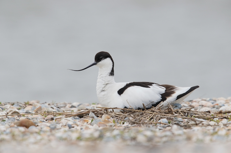 pied-avocet-on-nest-on-shell-bar-_09u0864-texel-holland
